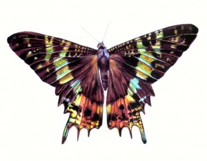 Chrysiridia rhipheus. World Encyclopedia of Butterflies and Moths -Anness Publishing.