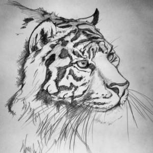 Tiger Sketch by Annie Dalton